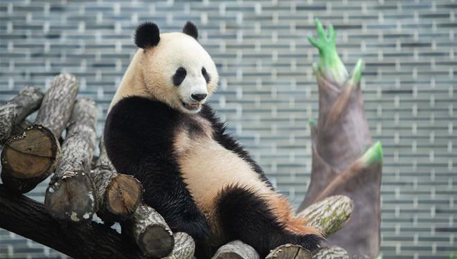 Acht Riesenpandas debütieren im neu eröffneten Riesenpanda-Garten in Hunan
