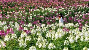 Blumenfeld in Hanzhong von Shaanxi zieht Besucher an