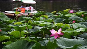 Lotusblumen im Daming-See-Landschaftsgebiet in Jinan