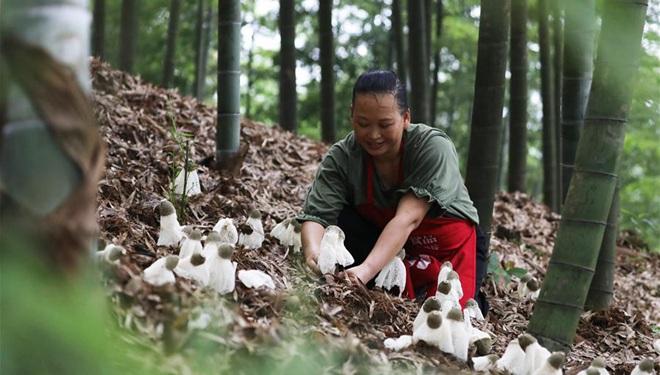 Stadt Chishui im Südwesten Chinas veranlasst lokale Bauern zum Pflanzen von Bambuspilzen