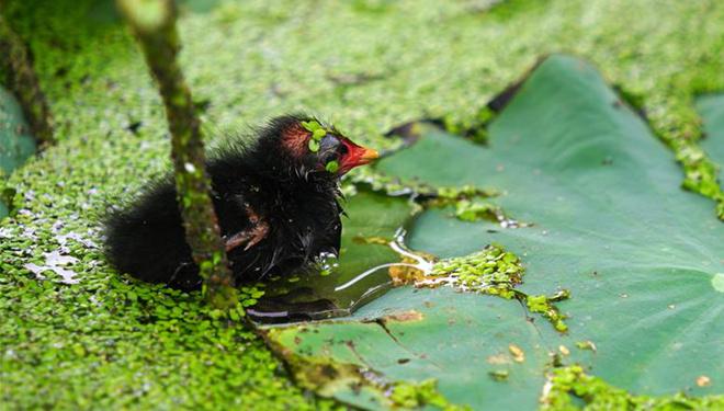 Teichhuhnküken schwimmen im Teich in Provinz Hebei