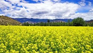 Goldene Rapsblumenfelder in Tibet