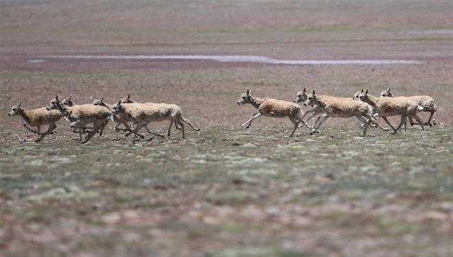 Tibetische Antilopen nahe Zonag-See in Qinghai gesehen