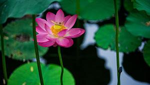 Lotusblume im Park von Hohhot in voller Pracht