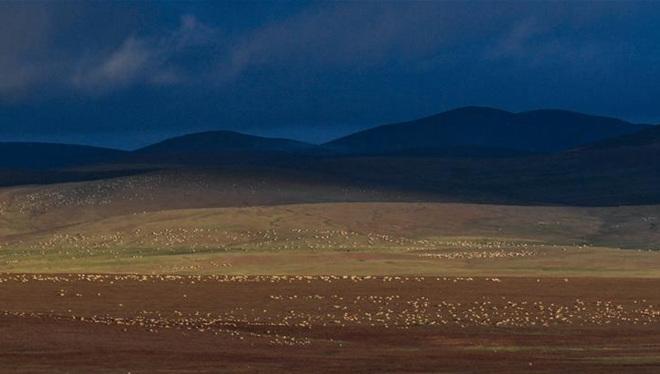 Tibetische Antilopen in Hoh Xil in Qinghai