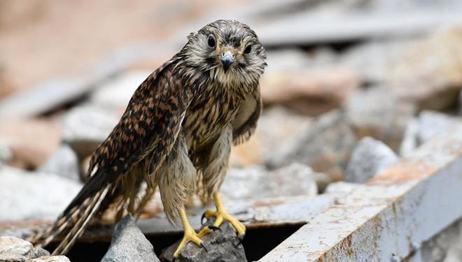 Wildtier-Rettung: Turmfalken werden wieder in die Wildnis entlassen