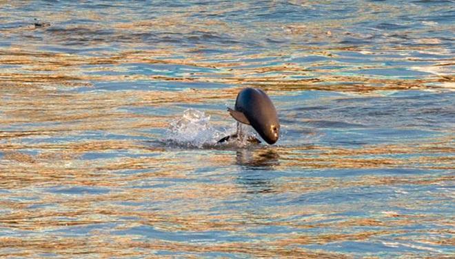 Endemische Tierart in China: Glattschweinswale schwimmen im Jangtse