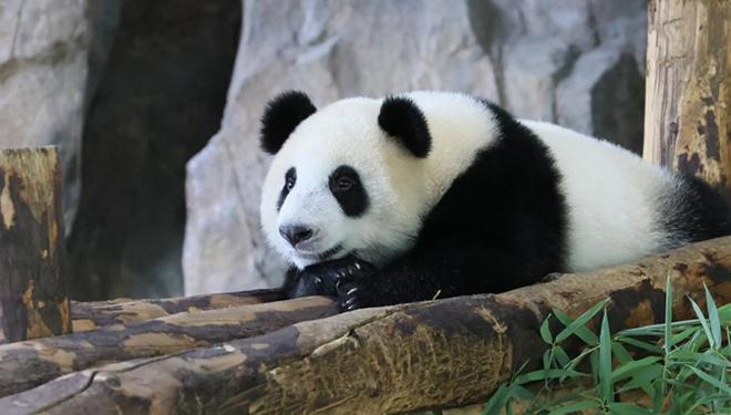 Namen Gesucht: Riesenpandajungtier im Shanghai Wild Animal Park