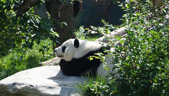 Riesenpanda Shuangxin feiert 9. Geburtstag in Xining, Qinghai