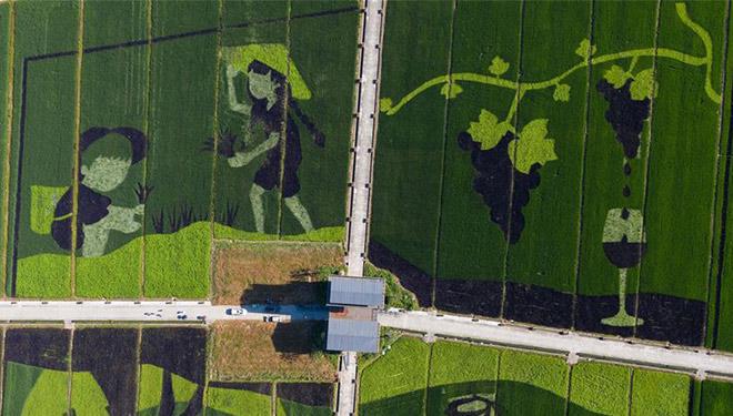 In Bildern: Reisfeldkunst im Dorf Hongqi in Zhejiang