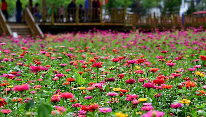 Zinnienblumen blühten in Luoyang in voller Blüte