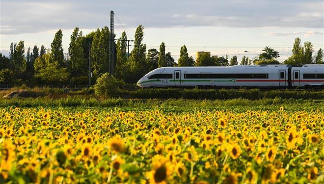 In Bildern: Sonnenblumen in voller Blüte in Frankfurt