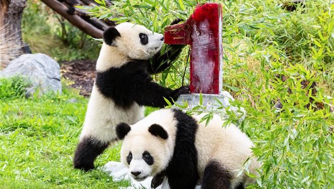 Riesenpanda-Zwillinge feiern ihren ersten Geburtstag im Zoo Berlin