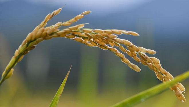 Bilder von Reiskörnern in koreanischer Präfektur Yanbian in Nordostchina