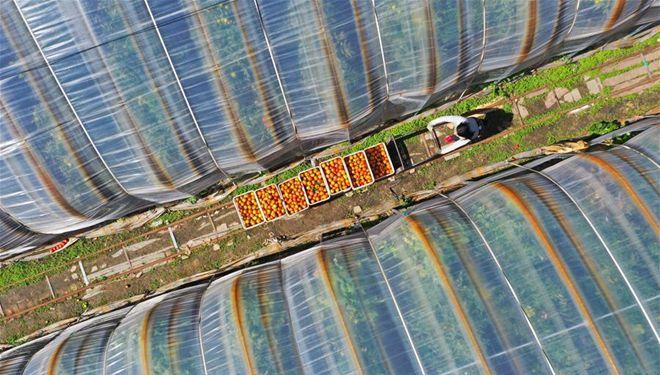 Bauern ernten Tomaten in Innerer Mongolei