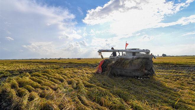 Reisfelder in Jilin in Erntezeit eingetreten