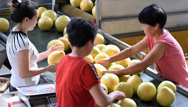Anbau von Pampelmusen ebnet Weg zur Armutsbekämpfung in Fujian