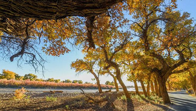 Herbstlandschaft des Waldes der Euphrat-Pappel in Chinas Innerer Mongolei