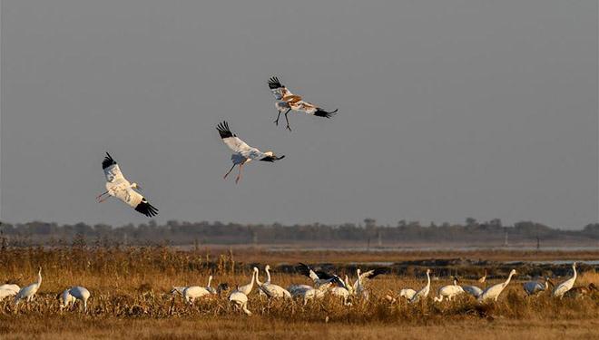 Weiße Kraniche im Nationalen Naturschutzgebiet Momoge von Chinas Jilin