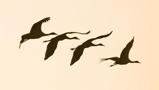 Schwarzhalskraniche im Nationalen Naturschutzgebiet Caohai