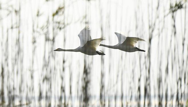 In Bildern: Schwäne am Shijiu-See in Chinas Jiangsu