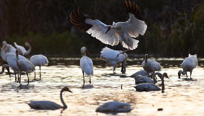 Zugvögel kommen zur Überwinterung im Feuchtgebiet am Poyang-See an