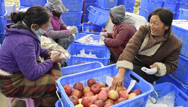 Nyingchi tritt in Erntezeit für Äpfel ein