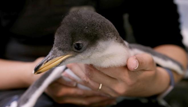 Aquarium in Sydney kündigte Geburt einer Brut von Eselspinguinen an