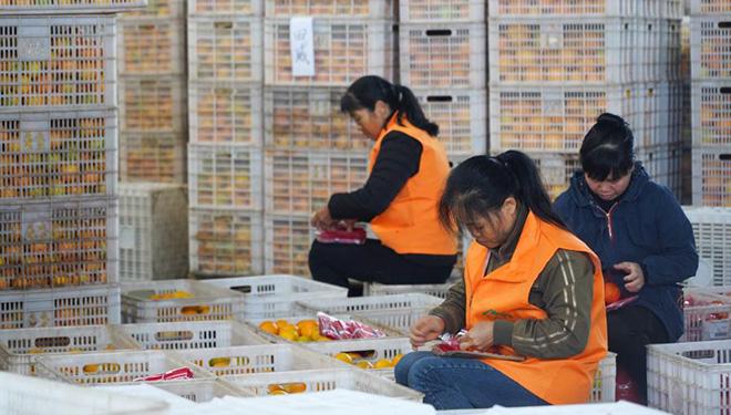 Bauern verpacken Nabelorangen zur Lieferung in Jiangxi
