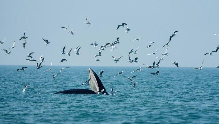Brydewal sucht nach Futter in Gewässern vor einer Insel in Guangxi