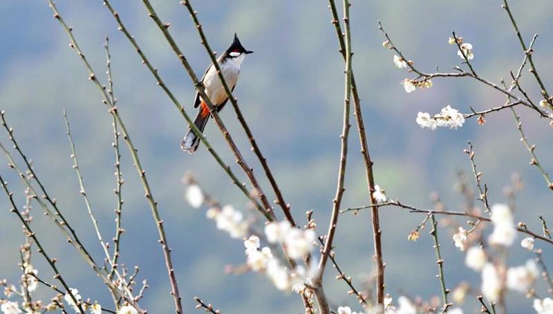 Pflaumenblüte in der südostchinesischen Provinz Fujian ziehen Besucher an