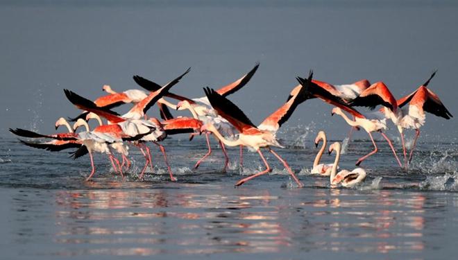 Flamingos fliegen über Gewässer in Kuwait-Stadt