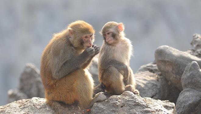 In Bildern: Makaken in der Stadt Tengzhou von Chinas Shandong
