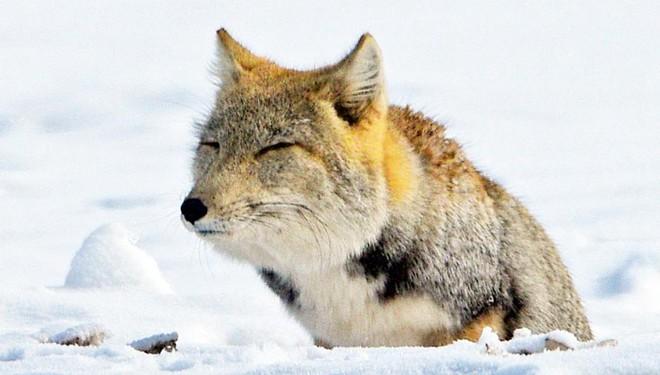 Tibetischer Fuchs in Gansu gesichtet