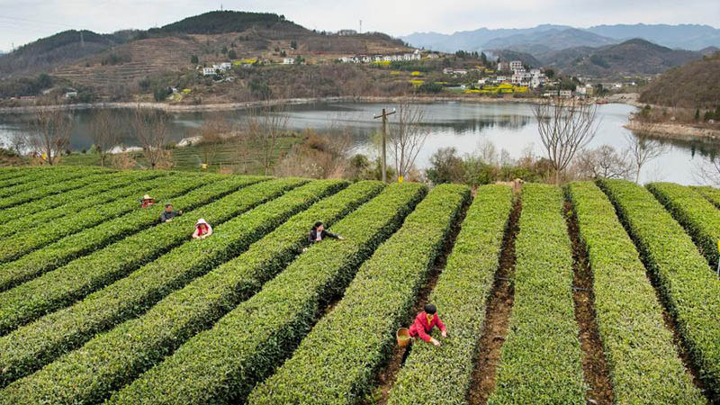 Bauern pflücken Teeblätter in Chinas Shaanxi