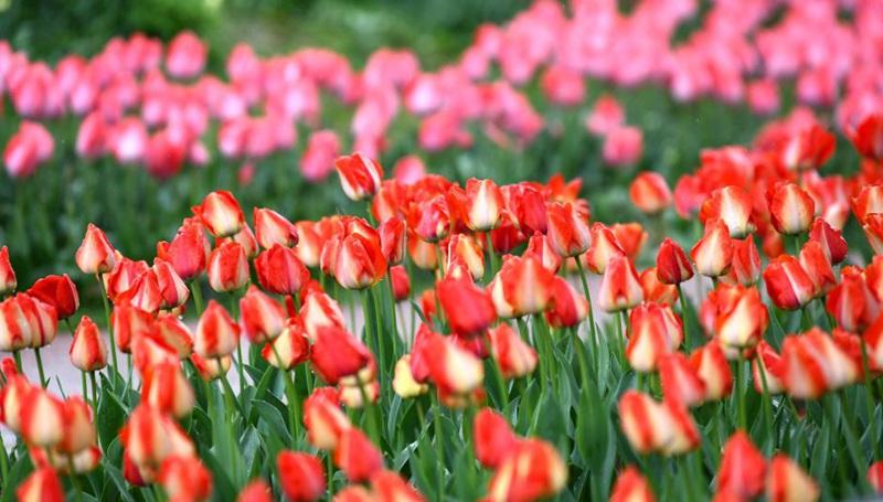 Frühlingsblumenschau im Botanischen Garten von Xi'an eröffnet